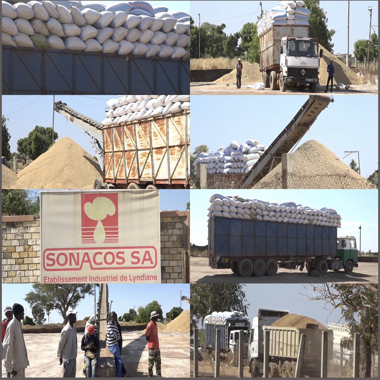 Campagne de commercialisation de l'arachide : La Sonacos a collecté à ce jour près de   50.000 tonnes sur le plan national dont 3.670 tonnes à Lyndiane.