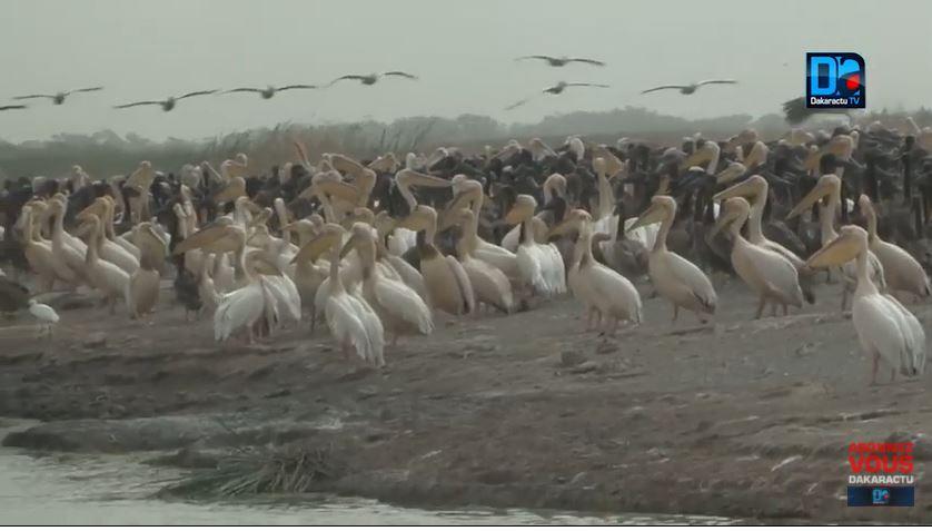 Mortalité de 750 pélicans au Djoudj : la grippe aviaire de type H5N1 en cause