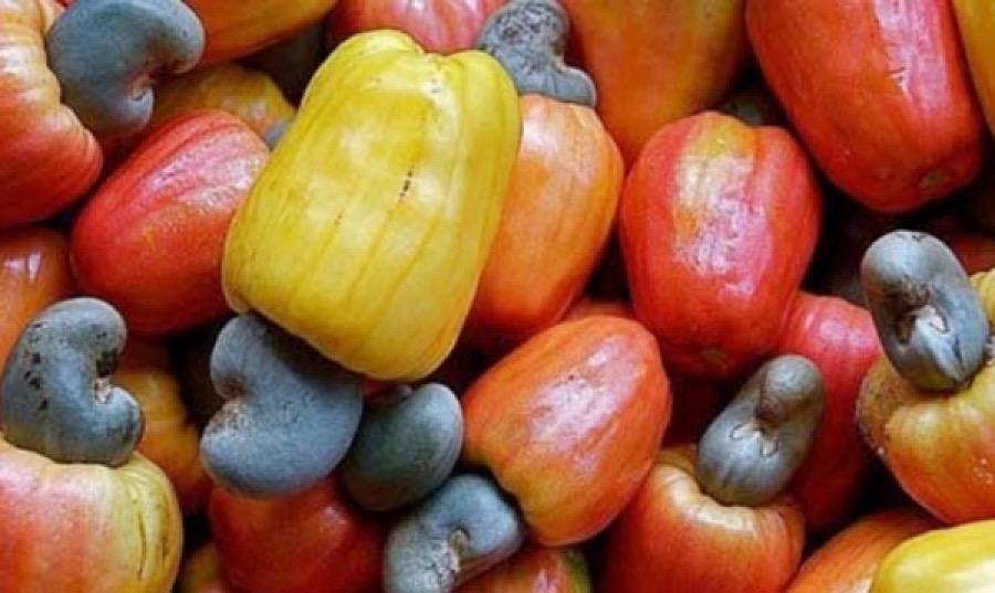 Ziguinchor / Campagne de commercialisation de l'anacarde : plus de 38.000 tonnes d'une valeur de plus de 22 milliards exportées.