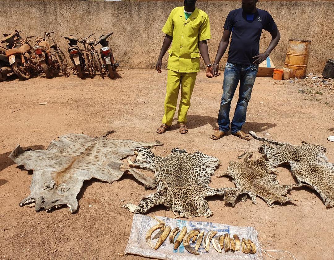 Criminalité faunique dans le Niokolo Kobadiar : Deux personnes interpellées dans un hôtel avec des peaux de léopards, d'hyène et des ivoires.