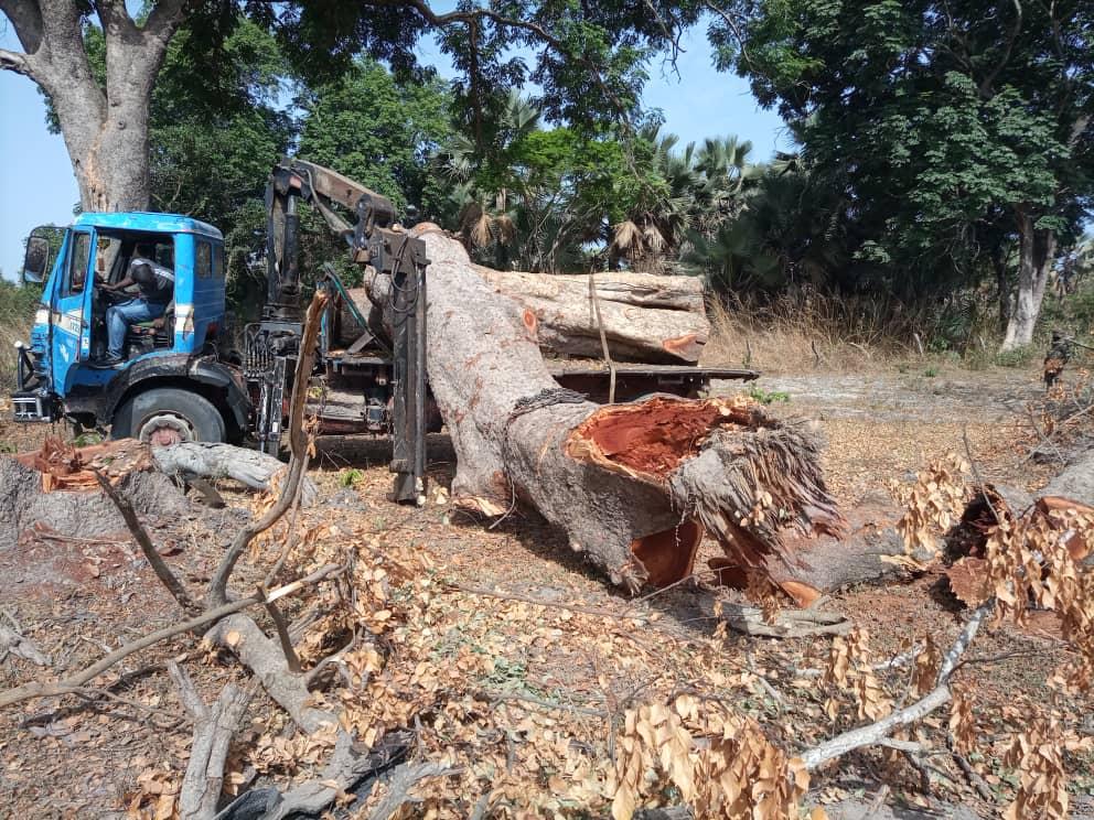Trafic de bois à Ziguinchor : un camion de « khaya » saisi par les Eaux et forêts
