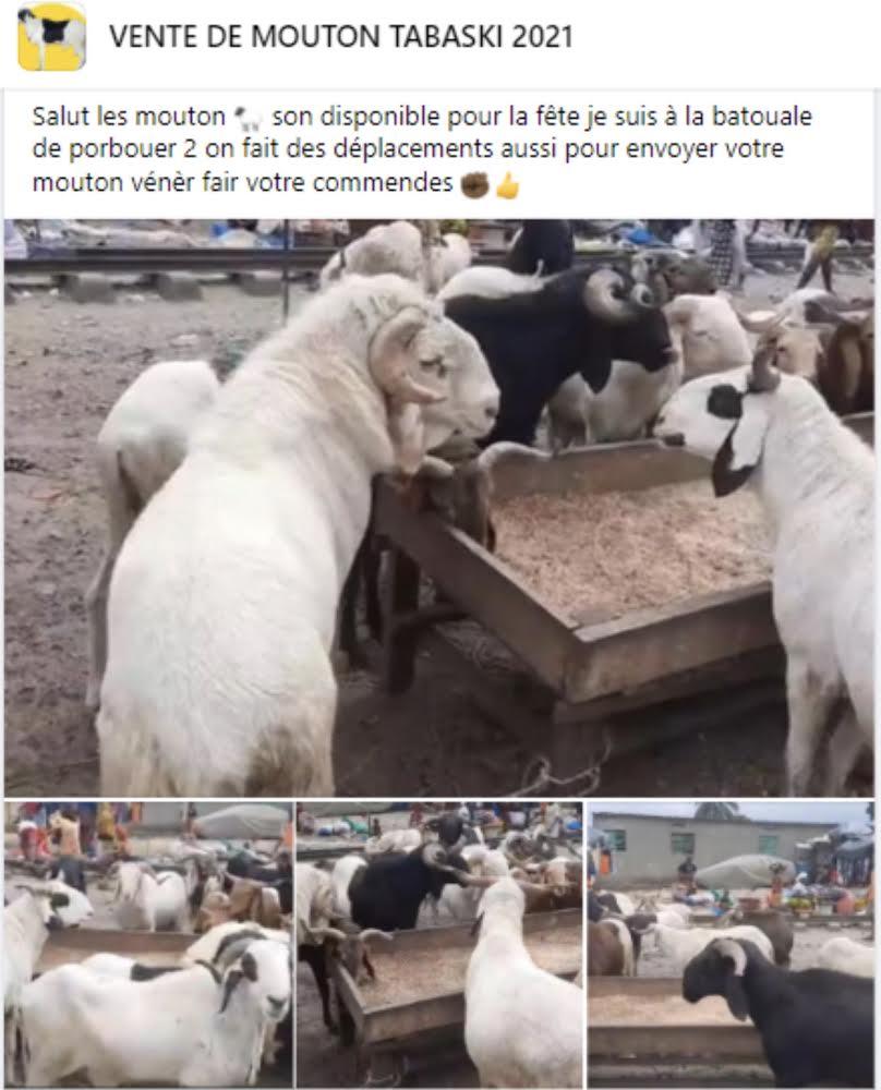 REPORTAGE - Tabaski : À Dakar, des moutons sont (aussi) vendus sur internet