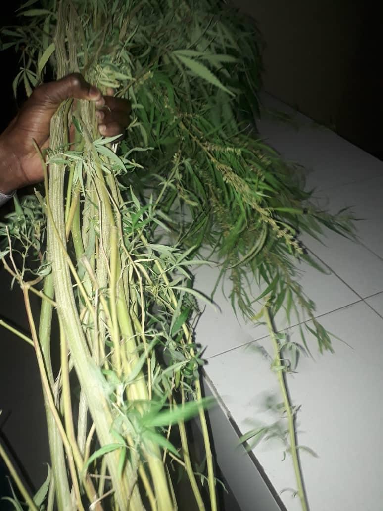Mbour : Arrestation d'un vigile qui cultivait du chanvre indien dans son domicile...