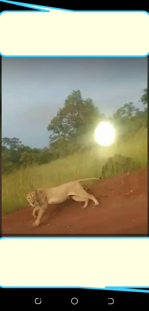 Kédougou/Axe Bembou-Massa Massa : un lion perturbe la quiétude des populations.