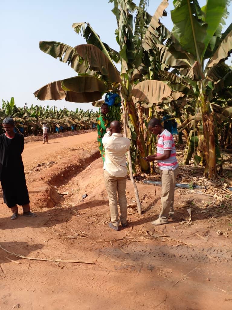 Une bananeraie implantée sur le site