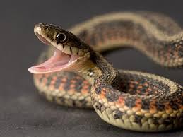 SAKAL : Mordue par un  serpent, elle finit par rendre l'âme...