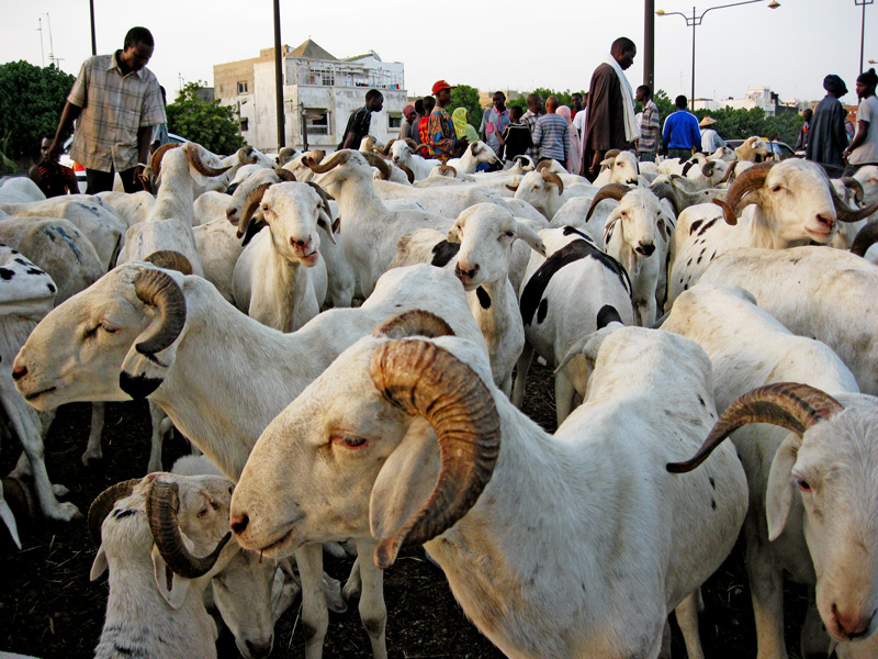 TOUBA- Le mouton encore « invisible »