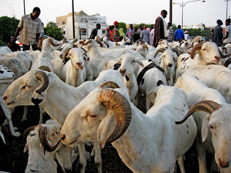 TOUBA- Le mouton encore « invisible »