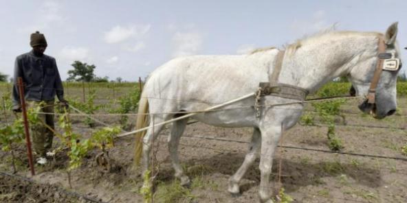 Le premier vin produit au Sénégal prend corps à l'ombre de baobabs (Jeune Afrique)