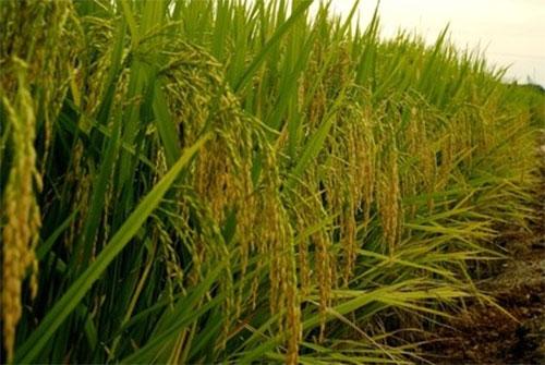 Commercialisation du riz de la vallée : La BNDE disposée à financer les grossistes et distributeurs (Directeur)