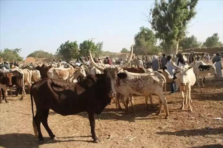 Démantèlement par la gendarmerie de Louga d'une bande de malfrats spécialisés dans le vol de bétail