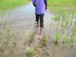 AUTOSUFFISANCE EN RIZ EN 2017 : « Un hectare aménagé et non cultivé, est un crime dans la Vallée du Fleuve Sénégal » (DG SAED)