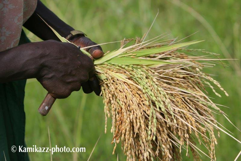 Chaine de valeur riz au Sénégal : Mission conjointe ONUDI-China-Africa Development Fund-Zhongxinjian Group