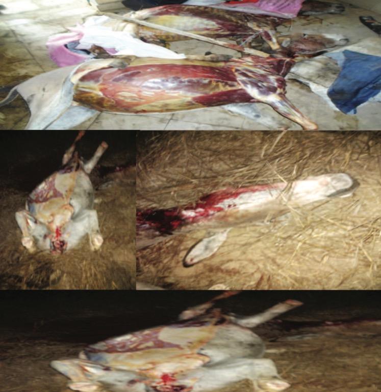Consommation de viande d'âne : Risque de zoonose