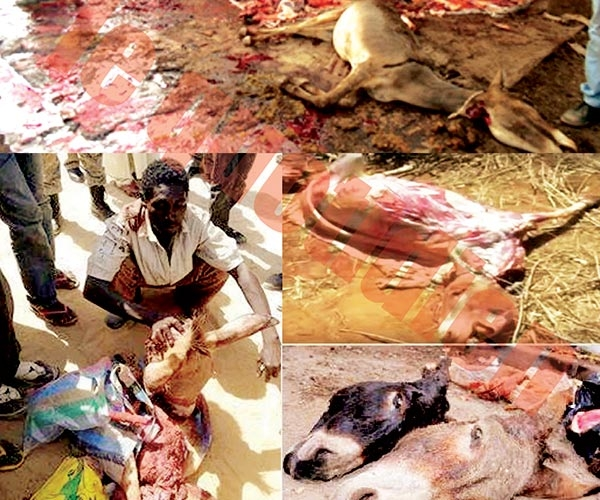 Abattage des ânes : La grande boucherie - « 240 tonnes de viande enregistrées en 2015 »