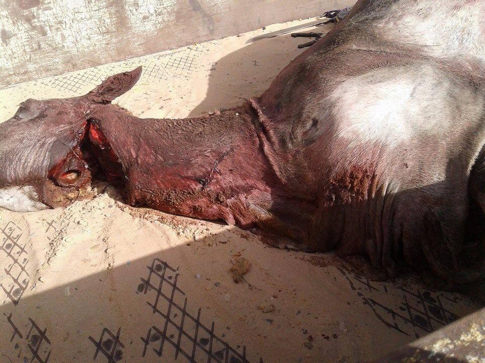 Alerte consommation : La gendarmerie de Hann vient d'arrêter l'abattage clandestin d'un cheval. C'est le déferlement vers la brigade pour lyncher les auteurs de cet énième acte