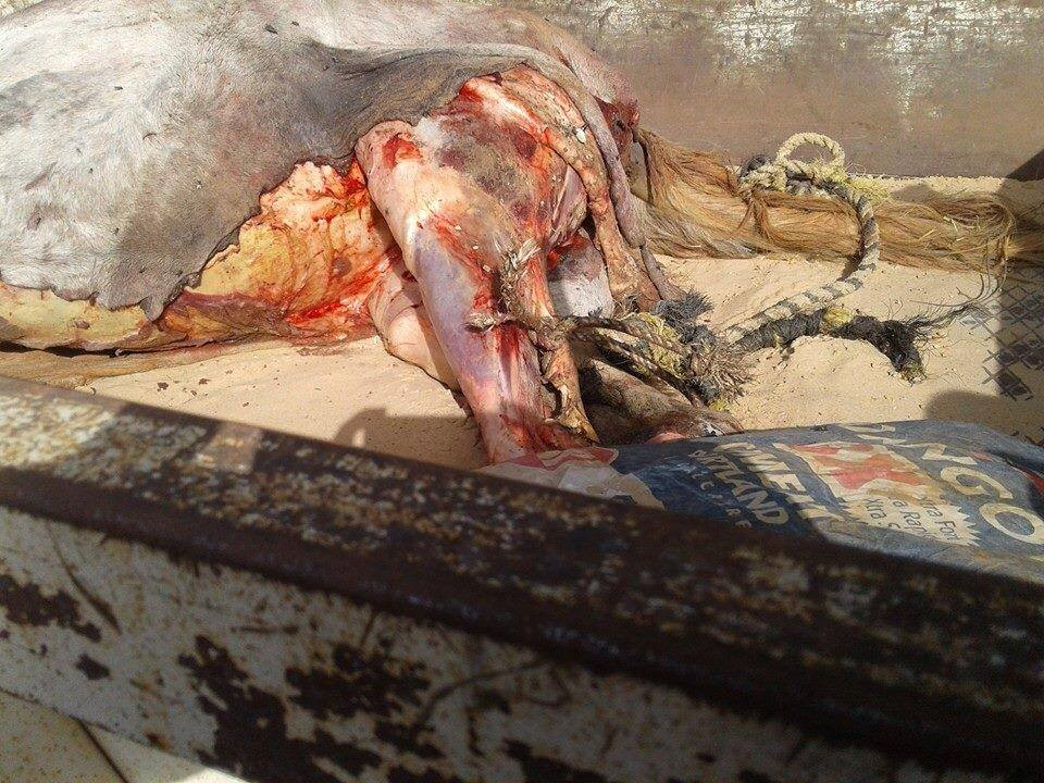 Abattage clandestin de cheval : Les deux mis en cause déférés au parquet hier