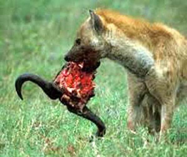 Insécurité à Vélingara : Des hyènes s'attaquent au bétail