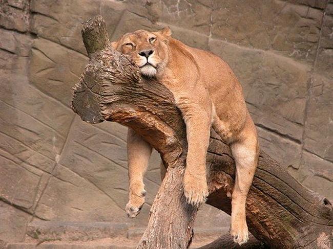 Macky Sall où l'histoire d'un lion indolent (Par A.S.Diop)