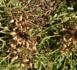 AGRICULTURE : Les premiers semis commencent à flétrir faute de pluie dans le département de Louga.