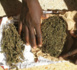 KOLDA : Treize kilogrammes de chanvre indien saisis au marché hebdomadaire de Témento.
