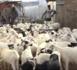 DU MOUTON À TOUBA / On est passé de l'inquiétude d'une pénurie au stress d'une mévente... Quand les éleveurs scrutent les clients.