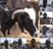 Tabaski 2021 : Des pères de famille se rabattent sur les boucs vendus à 75 000 F à cause de la cherté des moutons.