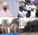 MAGAL 2021- Sokhna Bali Mountakha remet au comité d'organisation bœufs, chameaux et denrées alimentaires.