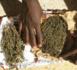 Thiès : 70 kg de chanvre saisis, la police aux trousses d'un chef de gang