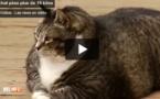 Ce chat de 14 kilos devient une star du net en quelques jours