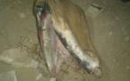 Corniche Ouest : Une baleine a échoué sur la plage
