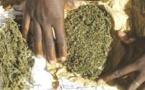 LUTTE CONTRE LE TRAFIC DE DROGUE : Saisie par l'OCRTIS de 238 kg de chanvre indien de la variété «BROWN»