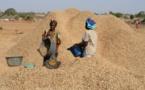 650 tonnes d'arachide déjà collectées à l'usine Sonacos de Louga.