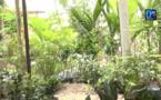 (REPORTAGE) JOURNÉE DE L'ARBRE /  Quand les arbres à ombrage s'imposent entre Touba et Mbacké.