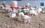 Reportage/Apparition du virus H5N1 au Sénégal : l'aviculture grippée