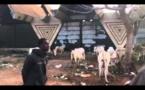 11 ème édition Journée Serigne Mouhamadou Lamine Bara MBACKE : l'arrivée des bœufs (VIDEO)