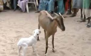 Chèvre qui avait donné naissance à une agnelle : l'éleveur récompensé